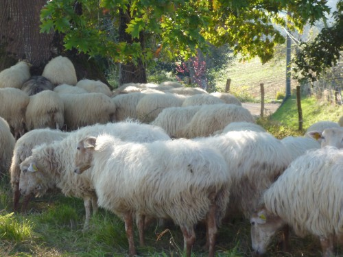 moutons,domaine
